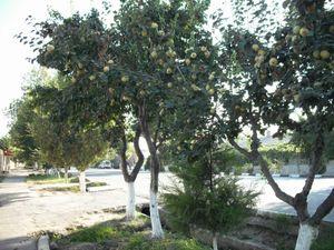 花梨(かりん)の木