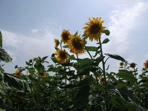 フェルガナのひまわり畑