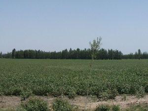 広大な綿花畑