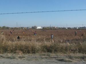 ヌクス郊外の綿花畑