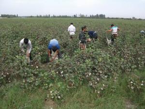 綿摘み作業