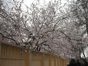 満開の杏の花